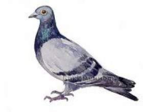 Як намалювати голуба? фото