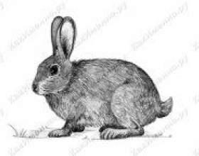 Як намалювати зайця олівцем? фото