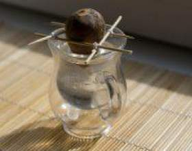 Як посадити авокадо з кісточки? фото