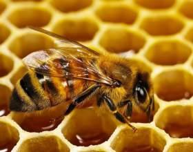 Корисні властивості меду з пергою фото