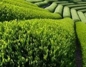 Реальна користь і можливу шкоду знаменитого зеленого чаю фото