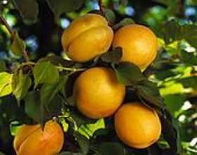 Рецепти страв з абрикосів фото